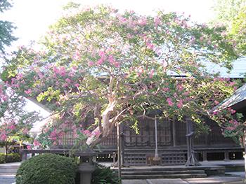 百日紅、真夏の影向寺薬師堂