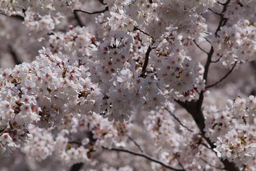 宮前区の桜
