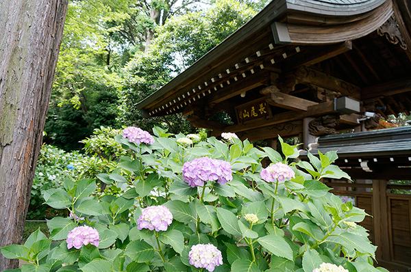 川崎のあじさい寺-妙楽寺