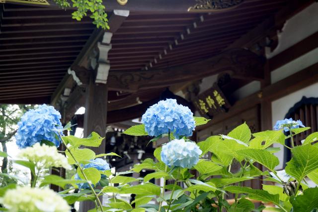 宮前区観光協会-「あじさい寺」と呼ばれる妙楽寺さん