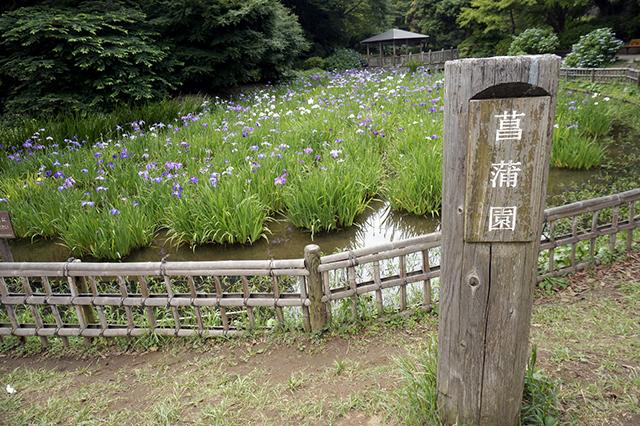 宮前区観光協会-生田緑地菖蒲園